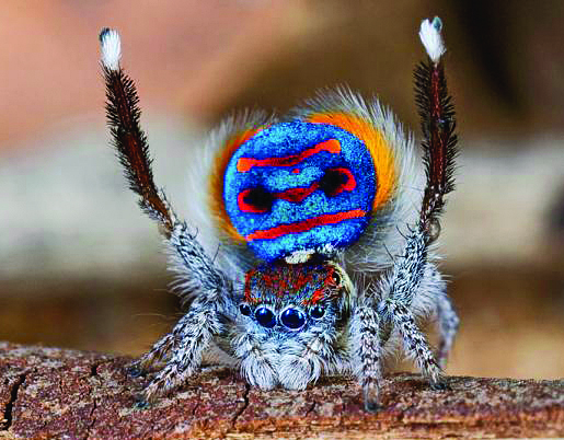 A male Peacock spider
