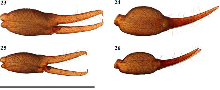 Afrogarypus-carmenae