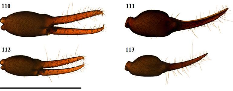 Figs-110-113-(A_purcelli-Chela)