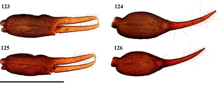 Figs-123-126-(A_robustus-Chela)