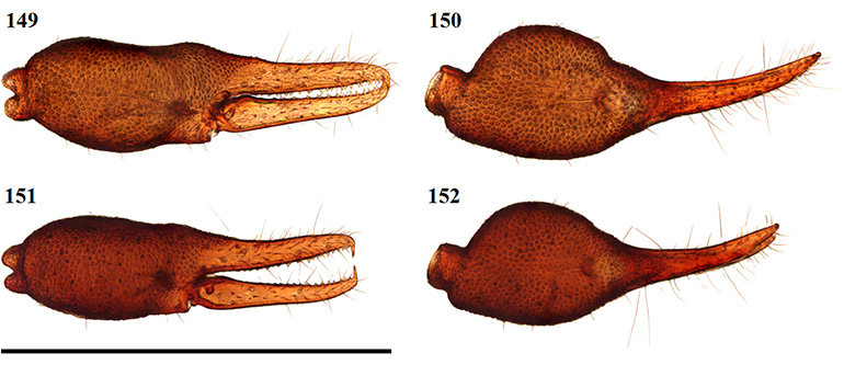 Figs-149-152-(A_triangularis-Chela)