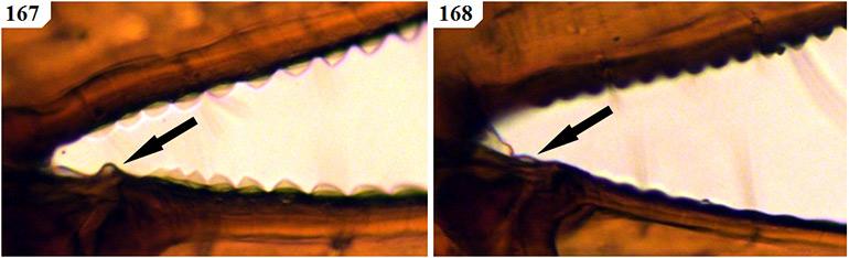 Figs-167-168-(G_deceptor-Chela-2)