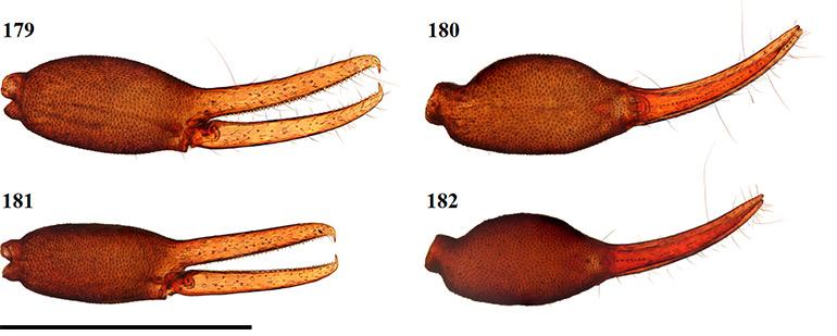 Figs-179-182-(G_flavus-Chela)