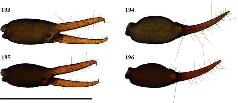 Figs-193-196-(G_liomendontus-Chela-1)