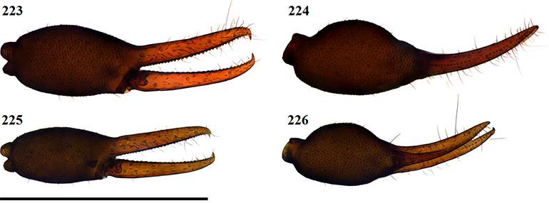Figs-223-226-(G_octoramosus-Chela)