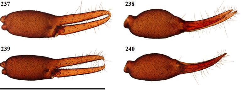Figs-237-240-(G_olivaceus-Chela)