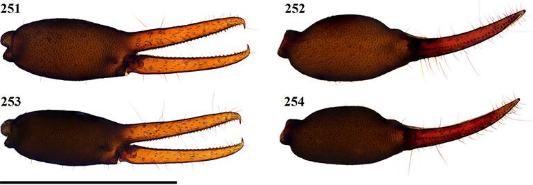 Figs-251-254-(G_tectomaculatus-Chela)