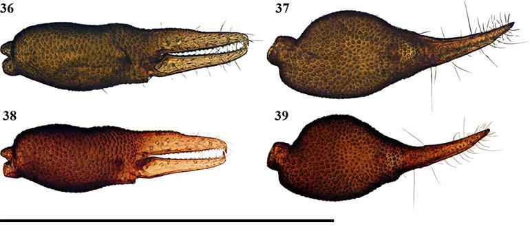 Figs-36-39-(A_castigatus-Chela)