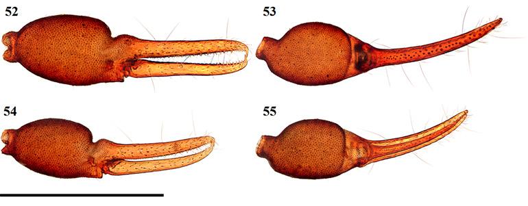 Figs-52-55-(A_excelsus-Chela)
