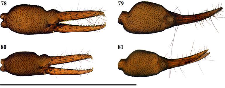 Figs-78-81-(A_megamolaris-Chela-1)