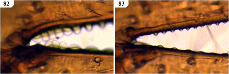 Figs-82-83-(A_megamolaris-Chela-2)