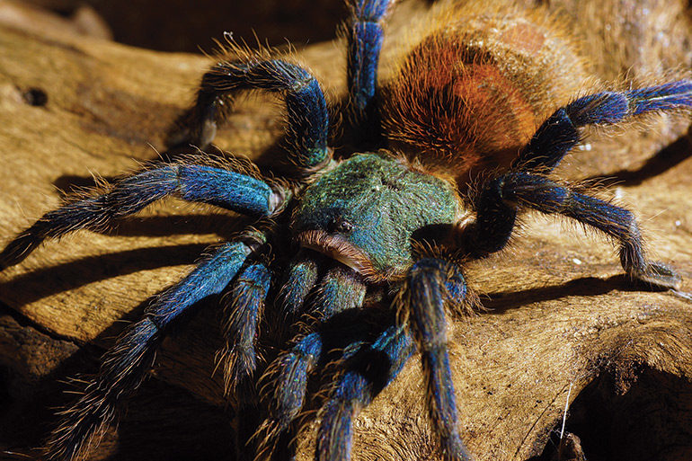 Green-Bottle-Blue-tarantula