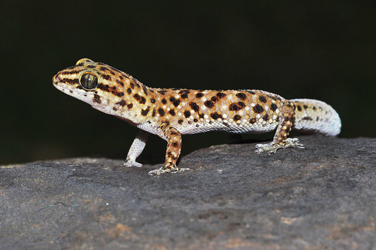 Pachydactylus-sp