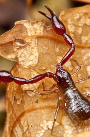 The secret lives of pseudoscorpions