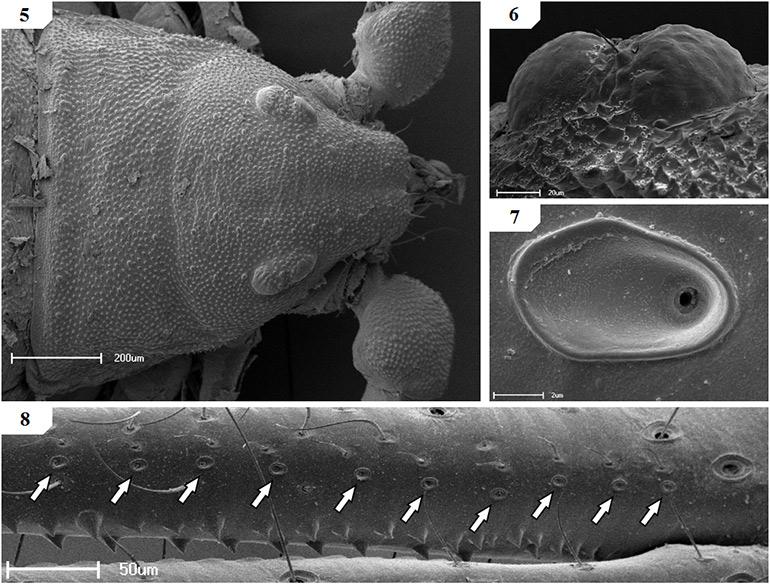 Scanning-electron-micrographs-of-Afrogarpus-excelsus
