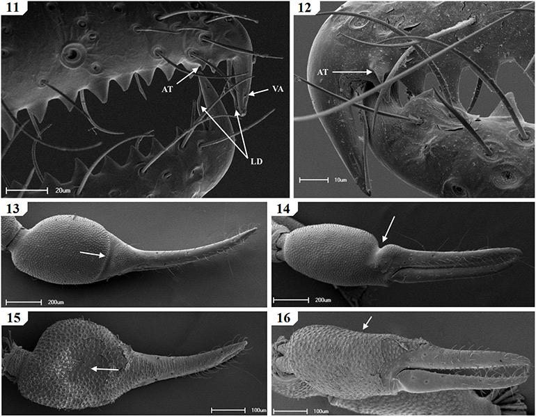 Scanning-electron-micrographs-of-South-African-Geogarypidae-morphology