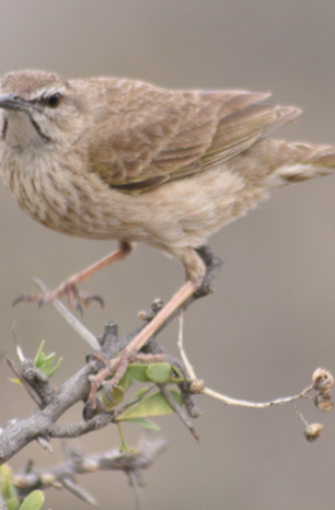 Close encounters with African Rock Pipits